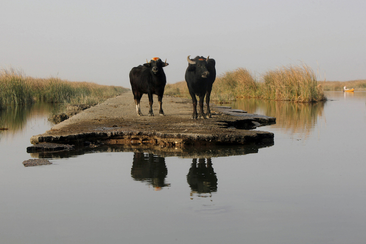 Two buffaloes gather by the waters of the Chebayesh marsh in Nassiriya, southeast of Baghdad